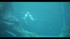 Baluga whale Stock Footage