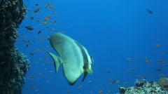 Lovely batfish Stock Footage