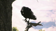 Stock Video Footage of Crow Perched