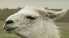 Portrait of alpaca Stock Footage