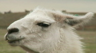 Stock Video Footage of Portrait of alpaca