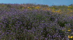Arizona Desert Purple Wildflower Fields Stock Footage