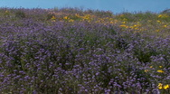 Arizona Desert Purple Wildflower Fields Stock Footage