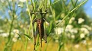 Green locust Stock Footage