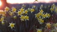 Stock Video Footage of DaffodilsSunrise 05
