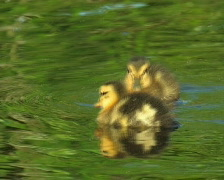 Duck and ducklings swim Stock Footage