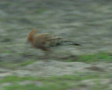 Hoopoe searches for meal Stock Footage