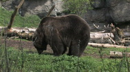 Grizzly Bear foraging Stock Footage
