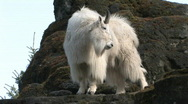 Stock Video Footage of Mountain Goat on rocks 1