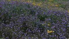 Arizona Spring Purple Wildflower Display Stock Footage