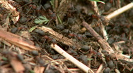 Stock Video Footage of Anthill