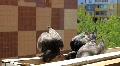 Grey pigeons Footage