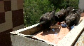 City pigeons Footage