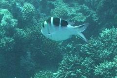 Sergantfish swimming Stock Footage