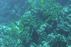 Shoal of snappers Stock Footage