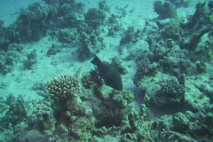Parrotfish eating Stock Footage