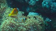 Anemonefish Stock Footage