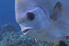Batfish (Platax) on Coral Reef Stock Footage