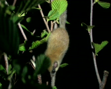 Hazel Dormouse Stock Footage