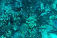 Bannerfish Stock Footage