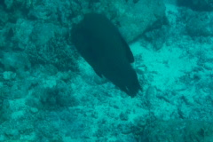 Napoleonfish Stock Footage