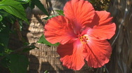 Stock Video Footage of Red Hibiscus flower