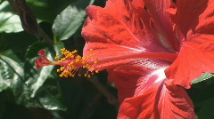 Red Hibiscus flower Stock Footage