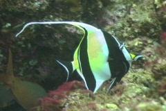 Moorish idol fish Stock Footage