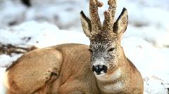 Roe deer  Stock Footage