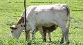 Calf Feeding 4 Footage