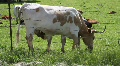 Calf Feeding 3 HD Footage