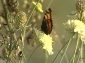 Stock Video Footage of butterfly close up