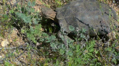 Stock Video Footage of Desert Tortoise Feast