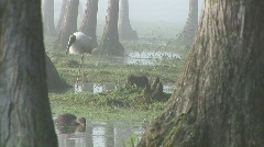 Wood Stork Swamp Stock Footage