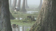 Stock Video Footage of Wood Stork Swamp