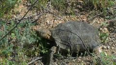 Tortoise Feeds On Desert Plants Stock Footage