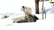 Arctic fox Stock Footage