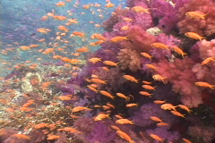 Soft coral and colorful fish - Fiji - stock footage