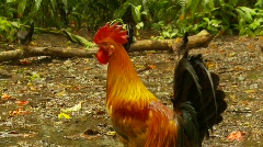 Rooster crowing, #2 Stock Footage