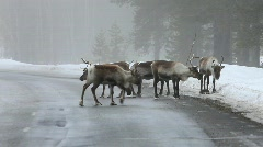 Reindeer Stock Footage