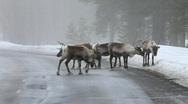 Stock Video Footage of reindeer