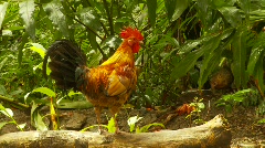 Chickens in jungle Stock Footage