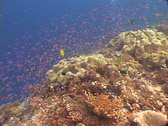 Stock Video Footage of Scuba diver, Fish and coral reef in Fiji - colorful
