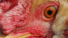 Cock close up Stock Footage