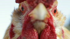 Cock close up - stock footage