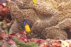 Anemonefish pair. Stock Footage