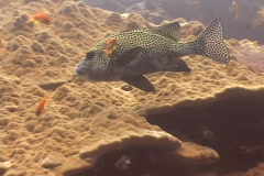 Fish Snapper Sweetlips close-up  Stock Footage
