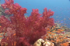 Soft coral pink red Fiji - stock footage