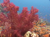 Soft coral pink red Fiji Stock Footage