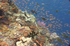 Fish and coral reef in Fiji - colorful Stock Footage